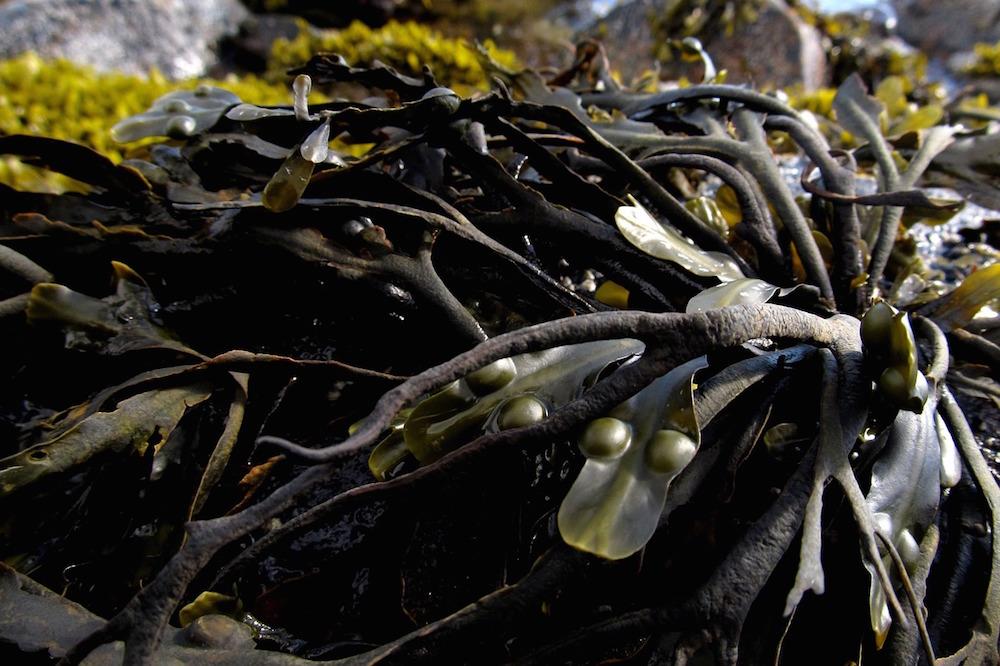 seaweed-991706_1280